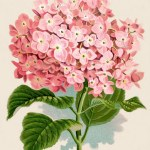 hydrangea-graphicsfairy008sm