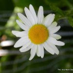 sussex Daisy