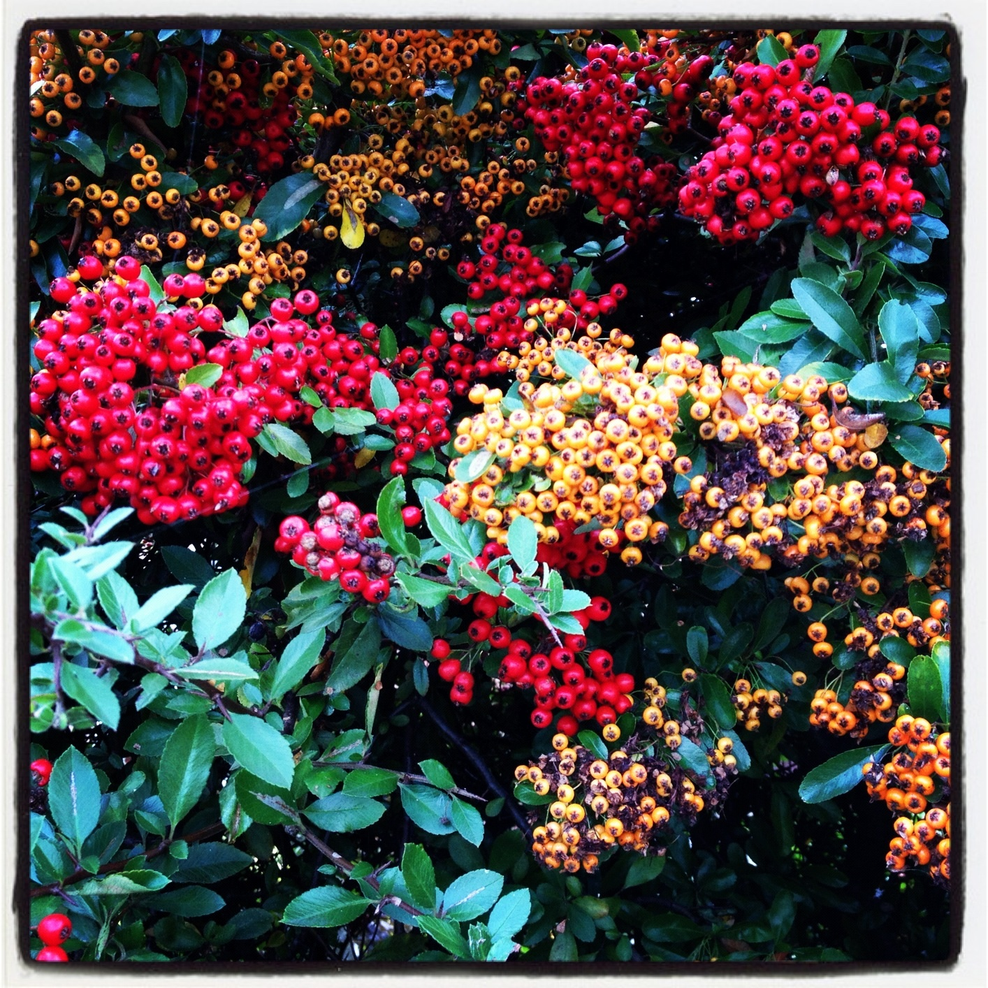autumn berries